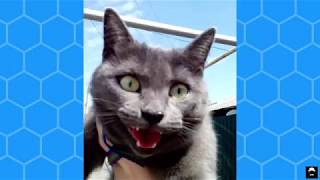 Прогулка с кошкой. Кошка на поводке. Жара. Лето 2017
