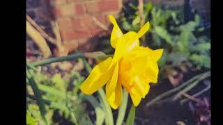 Magical Plants: Daffodil