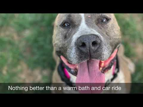 NALA, an adopted American Staffordshire Terrier in Thousand Oaks, CA
