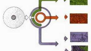 Three Cell-Producing Layers - Endoderm Mesoderm Ectoderm