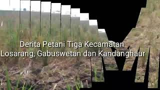 Tiga Kecamatan di Indramayu Gagal Panen