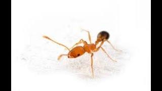Приманка от фараоновых рыжих муравьёв bros 2 шт