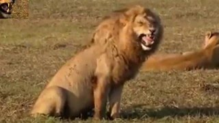 Lion Laughs Madly   Funny Video   Dubbed