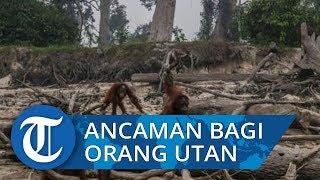 Karhutla Ancam Ekosistem Orang Utan di Kalimantan Barat
