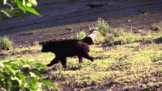 What to Do in a Bear Attack - Black and Brown Bears | SABRE's Frontiersman