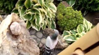 Poštovní holub