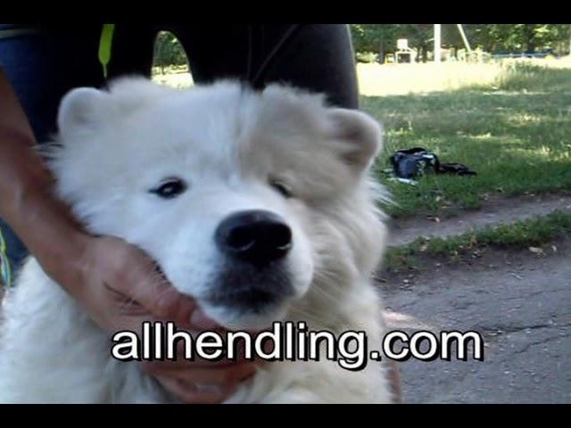 Хендлинг. Урок 2 Как правильно показывать зубы