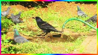 В жару птицам летом нелегко. Особенно, если рядом нет воды. В парке возле поливного шланга натекла лужа, в которой купаются птицы. Главный там грач. Он отгоняет голубей, пока сам пьёт и купается. Все остальные потом, когда грач улетит)