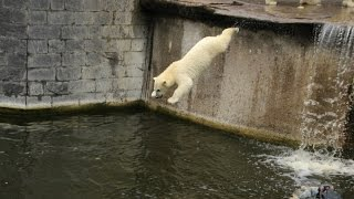 Eisbär Fiete springt im Zoo Rostock 12.07.2015