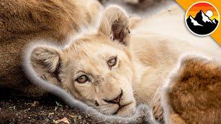GHOST LION?! - Rare White Lion Sighting!
