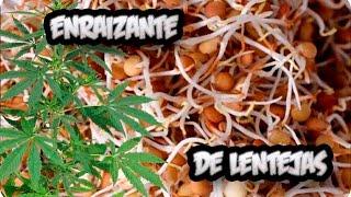 Como Hacer Enraizante Natural Con Lentejas || Germinan Siempre! || La Huertina De Toni | Kholo.pk