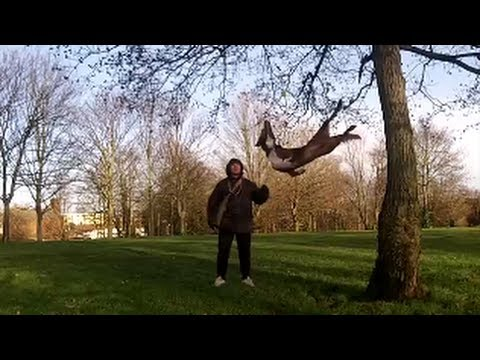 Amazing Acrobatic Dog – tree bouncing 2