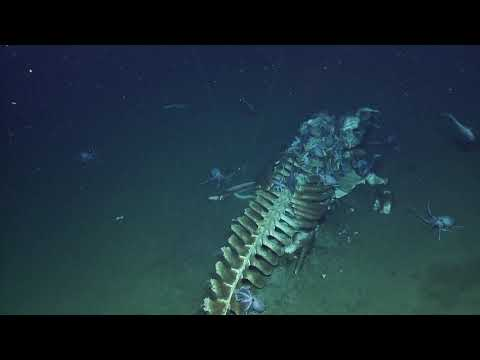 "Excited marine biologists stumble upon recent ""whale fall"" on ocean floor"