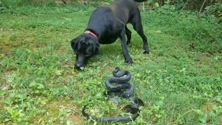 Bold Black Labrador Beholds Big Black Serpent