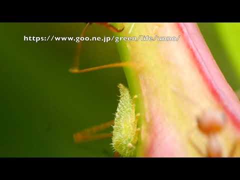 ツノゼミの幼虫から甘露をもらうツムギアリ