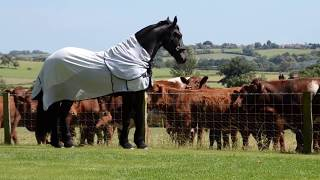 Elegant Friesian horse meets the neighbours cows.