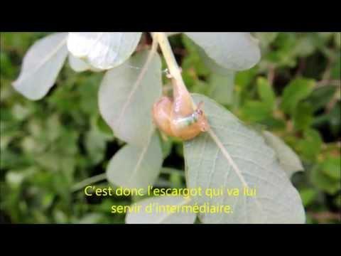 Vidéo les parasites loestre