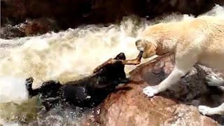 Yellow labrador rescues his pal from raging river rapids; Hero dog saves injured owner - Compilation