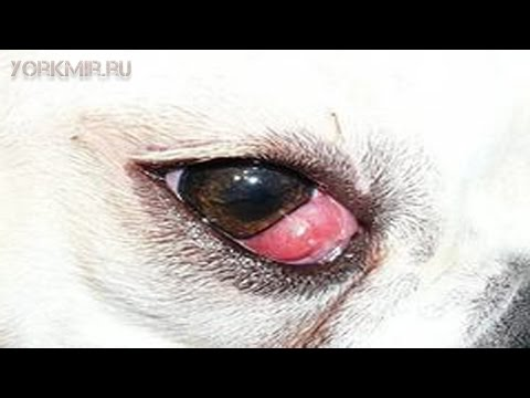 Коньюктивит у собак | Симптомы | Лечение | Капли.