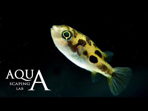 Aquascaping Lab - Dwarf Malabar Pufferfish Carinotetraodon Travancoricus description Pescepalla Nano