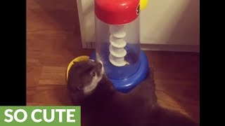 Smart otter knows how to play with his toy
