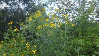 Tall Coreopsis - Coreopsis tripteris in bloom at Ion Exchange