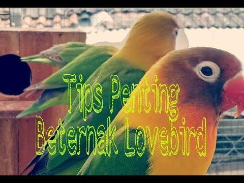 Video Tips Penting Beternak Lovebird | Mengatasi telur Zonk