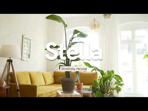 , title : 'Strelitzia nicolai Wissen | Dinge, die du vor dem Kauf einer Paradiesvogelblume wissen solltest