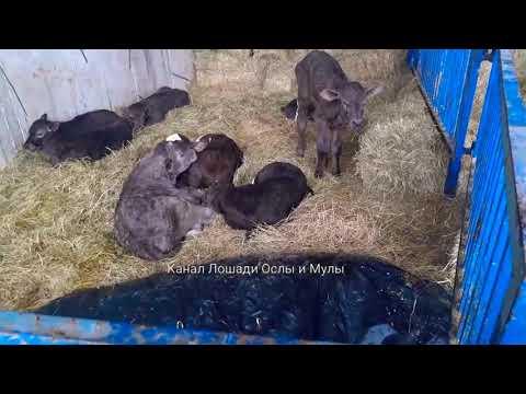 Бизнес-Идея с чего начать разведение коров. Где приобрести телят?! Удачи в нелёгком деле !!!