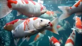 KOI FISH TANK At Higashi Hiroshima, Japan 錦鯉水槽 @ 東広島