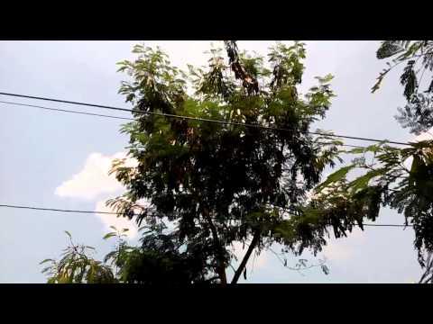 Video Pohon Mlanding/Petai Cina/Lamtoro