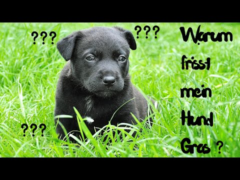 Warum frisst mein Hund Gras - Was Grasfressen bei Hunden bedeutet