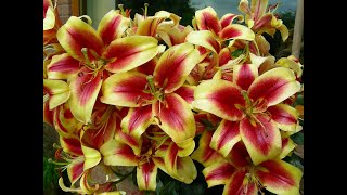 How We Grow Beautiful Perfumed Oriental Lilies, In Pots And In Borders.