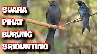 Download Suara burung Srigunting,cocok untuk pikat/masteran burung kicau Mp3