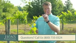 Ison's Nursery How To Train Muscadine Vines To The  Top Wire