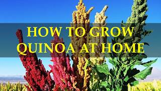 HOW TO GROW QUINOA AT HOME