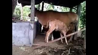 preview picture of video 'tingkah laku menyusu anak sapi Bali (( Fapet unud 2010 (mahardhika)).3GP'