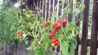 Выращивание помидоров в бутылке. Фильм - 2.