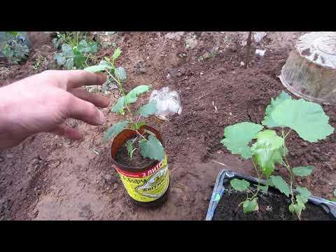 Виноград из косточки.Размножение винограда. Высадка саженцев винограда из косточки в теплицу.
