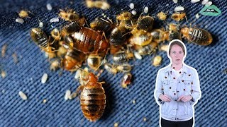 How To Get Rid Of Bed Bugs | Everything Explained