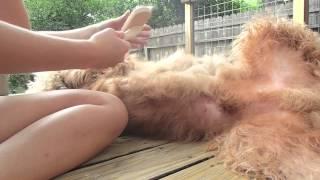 Brushing a Goldendoodle