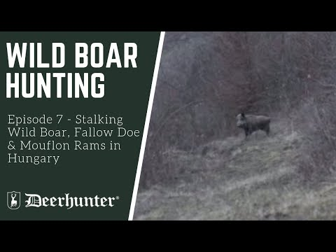 Stalking Wild Boar, Fallow Doe and Mouflon Rams in Hungary