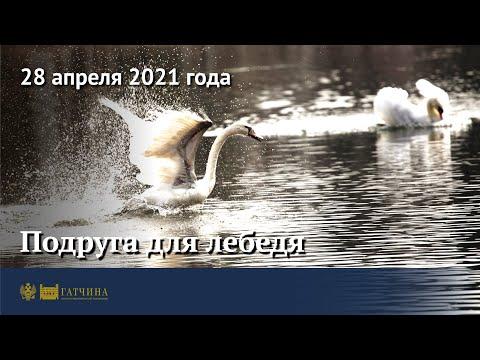 Гатчинские лебеди: Гоша принял Айседору