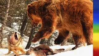 Grizzly Bears and Wolves - National Geographic Documentary