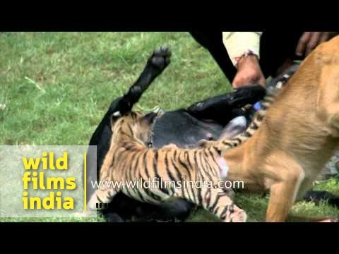 Little Tiger Cub And Antelope Feed From Mother Dog