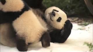 Детеныш панды борется с мамой