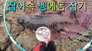 Opaleye rock fishing 97