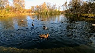 Nature sounds of ducks quacking and splashing on the river