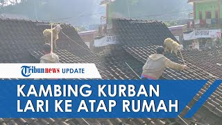 Viral Video Kambing Kurban di Magelang Kabur Sampai Atap Rumah, Dievakuasi Lima Orang Warga