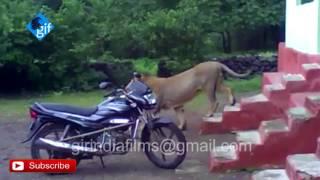 एक बब्बर शेर घुस गया घर के अंदर  Watch Asiatic lion entered in the house